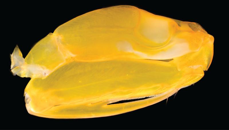Pseudosquilla ciliata raptorial appendage