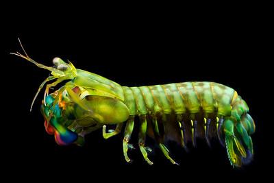 Gonodactylus smithii
