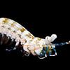 Haptosquilla trispinosa