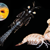 Mantis Shrimp Life Cycle (Abridged)