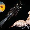 Mantis Shrimp Life Cycle (Abridged)