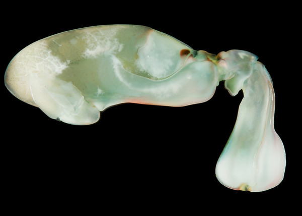 Gonodactylus chiragra raptorial appendage