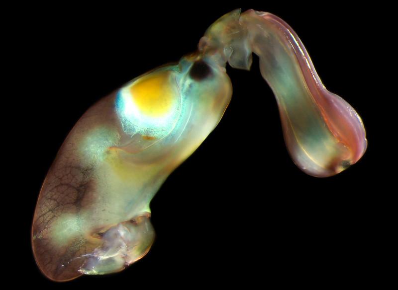 Gonodactylaceus ternatensis raptorial appendage