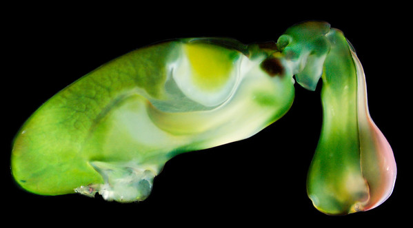 Gonodactylaceus falcatus raptorial appendage