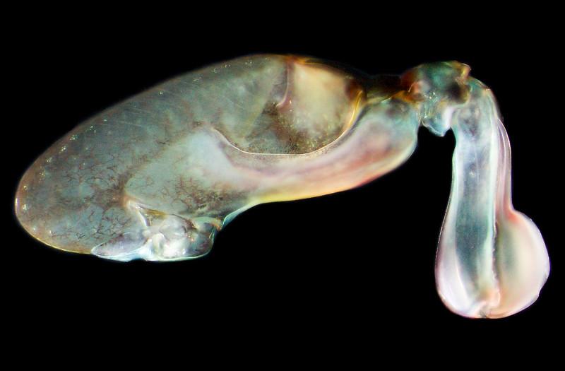 Haptosquilla glyptocercus raptorial appendage.