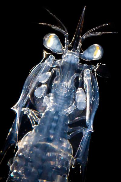 Mantis shrimp larva