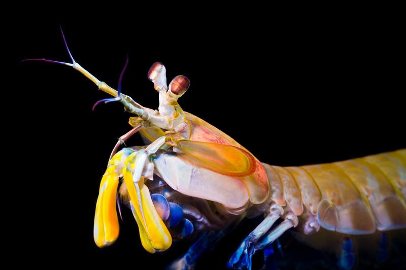 Hemisquilla californiensis
