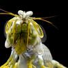 Gonodactylus chiragra