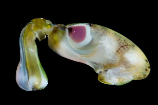 Neogonodactylus oerstedii raptorial appendage