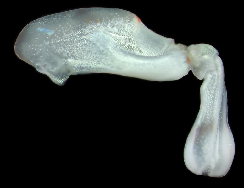 Odontodactylus latirostris raptorial appendage
