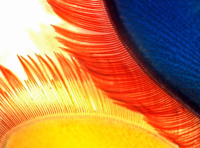 Hemisquilla californiensis uropod detail