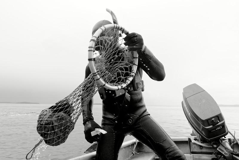 """Le pêcheur de paua (ormeaux) maori Luke Simeon remontant d'une plongée. Pour les Maoris, le paua est considéré comme """"taonga"""" (trésor). Sa chair délicate a toujours été appréciée et sa nacre utilisée pour la joaillerie ou pour illuminer les yeux de leurs sculptures. Sur le plan international, la demande d'ormeaux étant plus forte que l'offre, cette pêche est particulièrement lucrative et en pleine expansion.<br /> Ile Stewart/Southland/Nouvelle-Zélande"""