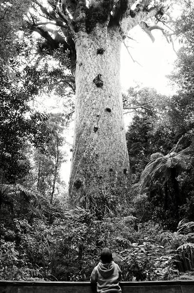 Enfant maori en admiration devant Tane Mahuta (le plus grand kauri deNouvelle-Zélande) au cœur de la forêt de Waipoua. Northland/Ile du Nord/Nouvelle-Zélande