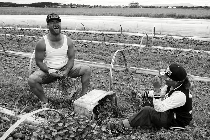 """Jeunes ouvriers agricoles maoris s'amusant pendant le ramassage des kumaras (patate douce maorie) dans un champ des environs de Dargaville. Les découvertes se multiplient sur les bienfaits diététiques du kumara, aliment de base dans la culture maorie (et polynésienne en général). Depuis quelques années, malgré la subsistance des habitudes alimentaires de type """"fast food"""", on assiste à un engouement dans les communautés maories pour un retour à une cuisine naturelle et traditionnelle.<br /> Northland/Nouvelle-Zélande"""