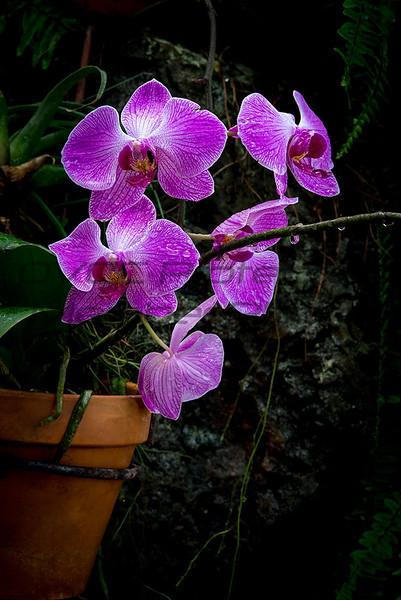 Rich Sears  Vanda Orchid  Matte   13 x 15  $80 timetravelerxiv@gmail.com  513 324-5643
