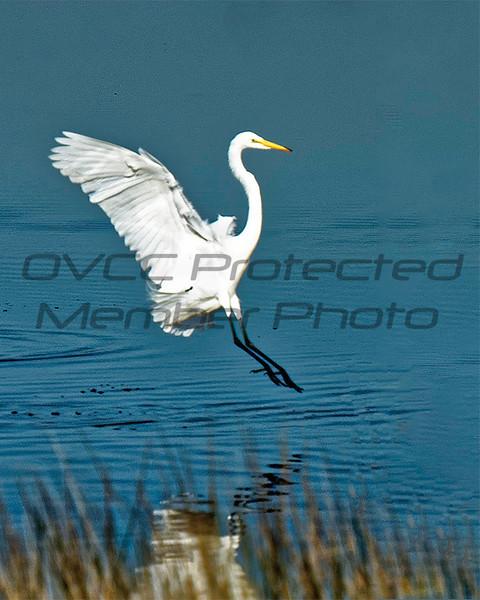 Rich Sears  Snowy Egret Landing  Matte   13 x 15  $80  timetravelerxiv@gmail.com  513 324-5643