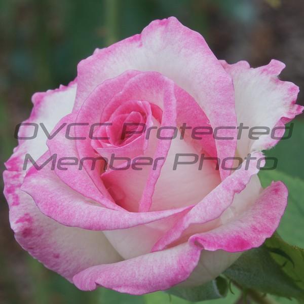 The Exquisite Rose