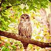 Loveland Owl