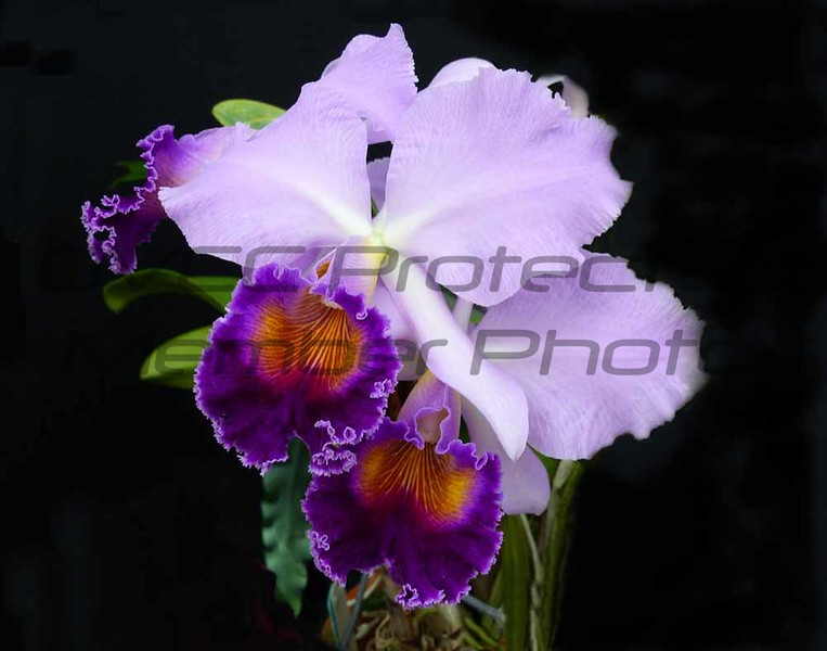 John Butler. Two Purple Orchids, Digital Photo, 20 x 24, $125, Jbutler2@isoc.net, 513-874-524