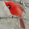 Jenny Gandert, Snow Cardinal, Framed Print, 18X20,  $75, solo.photographer@gmail.com, 513.899.9255