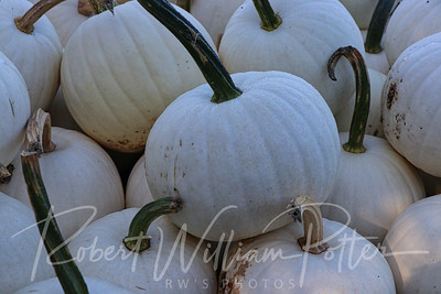 4974-Albino Pumpkins