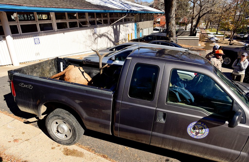""". BOULDER, CO - NOVEMBER 14:Colorado Parks and Wildlife removes an elk Mapleton Hill residents named \""""Larry\"""" with a pickup truck at 2300 Broadway in Boulder on Nov. 14, 2018. The elk was euthanized after it was determined to be unhealthy by Colorado Parks and Wildlife veterinarian.  (Photo by Matthew Jonas/Staff Photographer)"""