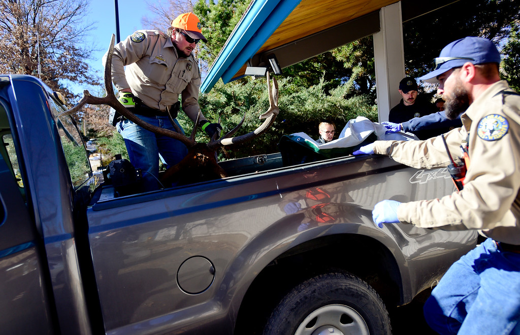 """. BOULDER, CO - NOVEMBER 14:Colorado Parks and Wildlife District Wildlife Manager Clayton Brossart, left, loads an elk, Mapleton Hill residents named \""""Larry\"""", into a pickup truck at 2300 Broadway in Boulder on Nov. 14, 2018. The elk was euthanized after it was determined to be unhealthy by Colorado Parks and Wildlife veterinarian.  (Photo by Matthew Jonas/Staff Photographer)"""