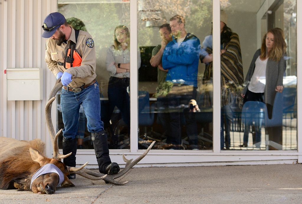 """. BOULDER, CO - NOVEMBER 14:Colorado Parks and Wildlife Wildlife Health Tech. Mark Fisher helps steady an elk as employees of Cultivate look on at 2300 Broadway in Boulder on Nov. 14, 2018. The elk, named \""""Larry\"""" by Mapleton Hill residents, was euthanized after it was determined to be unhealthy by Colorado Parks and Wildlife veterinarian.  (Photo by Matthew Jonas/Staff Photographer)"""