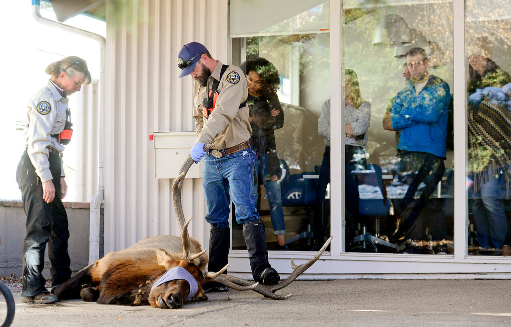""". BOULDER, CO - NOVEMBER 14:Colorado Parks and Wildlife Veterinarian Dr. Lisa Wolfe and Wildlife Health Tech Mark Fisher look over an elk, named \""""Larry\"""" by Mapleton Hill residents, on a porch at 2300 Broadway in Boulder on Nov. 14, 2018. The elk was euthanized after it was determined to be unhealthy by Colorado Parks and Wildlife veterinarian.  (Photo by Matthew Jonas/Staff Photographer)"""