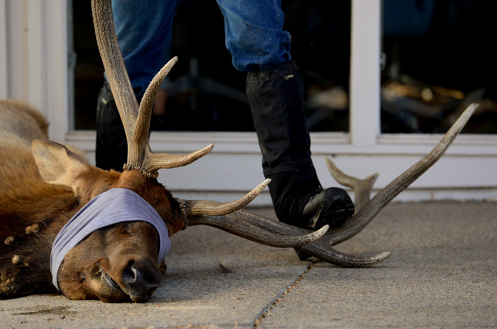 """. BOULDER, CO - NOVEMBER 14:An elk, Mapleton Hill residents named \""""Larry\"""", is seen after being tranquilized by Colorado Parks and Wildlife officers on a porch at 2300 Broadway in Boulder on Nov. 14, 2018. The elk was euthanized after it was determined to be unhealthy by Colorado Parks and Wildlife veterinarian.  (Photo by Matthew Jonas/Staff Photographer)"""