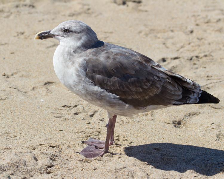 Western gull (immature)