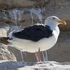 Western gull (adult)
