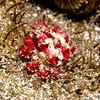 Scarlet Mime Crab