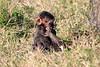 Baboon_Tangulia_Marsh_Mara_Reserve_2018_Kenya_0009