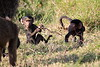 Baboon_Tangulia_Marsh_Mara_Reserve_2018_Kenya_0001