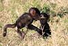 Baboon_Tangulia_Marsh_Mara_Reserve_2018_Kenya_0014