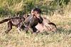 Baboon_Tangulia_Marsh_Mara_Reserve_2018_Kenya_0021