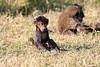 Baboon_Tangulia_Marsh_Mara_Reserve_2018_Kenya_0024