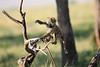 Baboon_Tangulia_Marsh_Mara_Reserve_2018_Kenya_0003