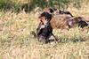 Baboon_Tangulia_Marsh_Mara_Reserve_2018_Kenya_0023