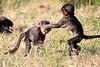Baboon_Tangulia_Marsh_Mara_Reserve_2018_Kenya_0026