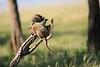 Baboon_Tangulia_Marsh_Mara_Reserve_2018_Kenya_0007