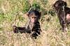 Baboon_Tangulia_Marsh_Mara_Reserve_2018_Kenya_0016