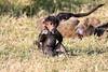 Baboon_Tangulia_Marsh_Mara_Reserve_2018_Kenya_0022