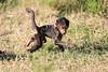 Baboon_Tangulia_Marsh_Mara_Reserve_2018_Kenya_0018