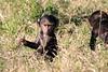 Baboon_Tangulia_Marsh_Mara_Reserve_2018_Kenya_0015