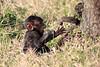 Baboon_Tangulia_Marsh_Mara_Reserve_2018_Kenya_0011