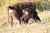 Baboon_Tangulia_Marsh_Mara_Reserve_2018_Kenya_0019