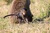 Baboon_Tangulia_Marsh_Mara_Reserve_2018_Kenya_0027