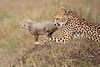 Cheetah_Young_Cub_Mom_Rekero_Mara_2018_Kenya_0038